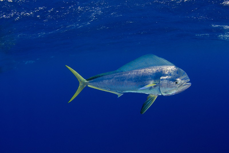 Must-Dos for Mahi-Mahi Success